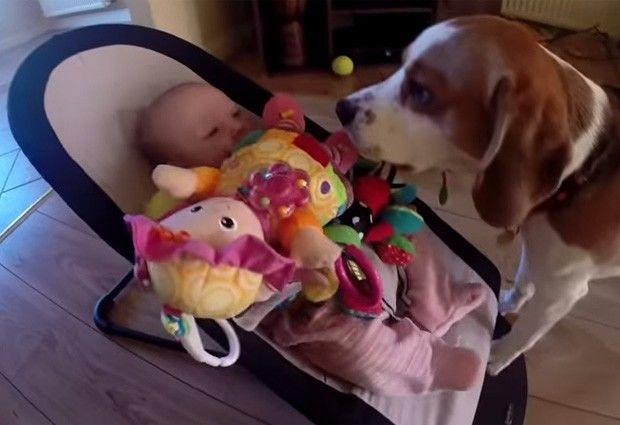 Vídeos de bebê com cachorro Beagle se desculpando por roubar brinquedo vira hit na web
