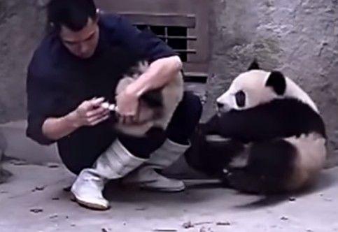 pandas-dao-trabalho-pra-tomar-remedio
