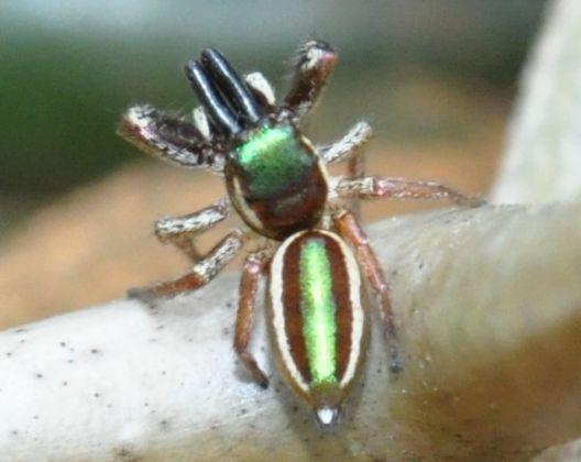 Conheça alguns tipos bizarros de aranha
