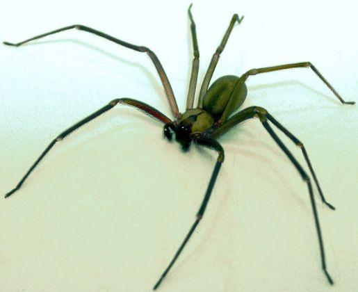 5 aranhas mais perigosas do mundo