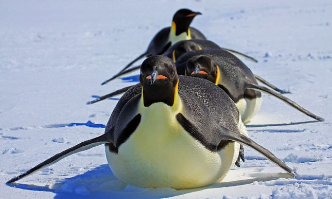 7 fatos divertidos sobre os pinguins