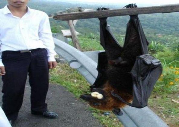 Morcego gigante: saiba se este animal bizarro realmente existe