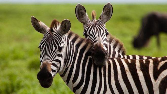 Cientistas descobrem importante função das listas em zebras