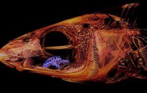 Cientistas encontram parasita bizarro que assume lugar da língua de suas vítimas