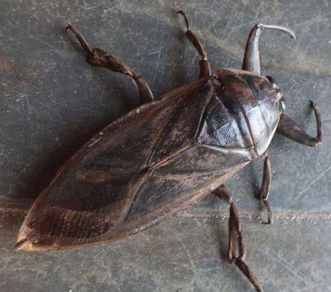Conheça o inseto que possui a picada mais dolorosa do reino animal