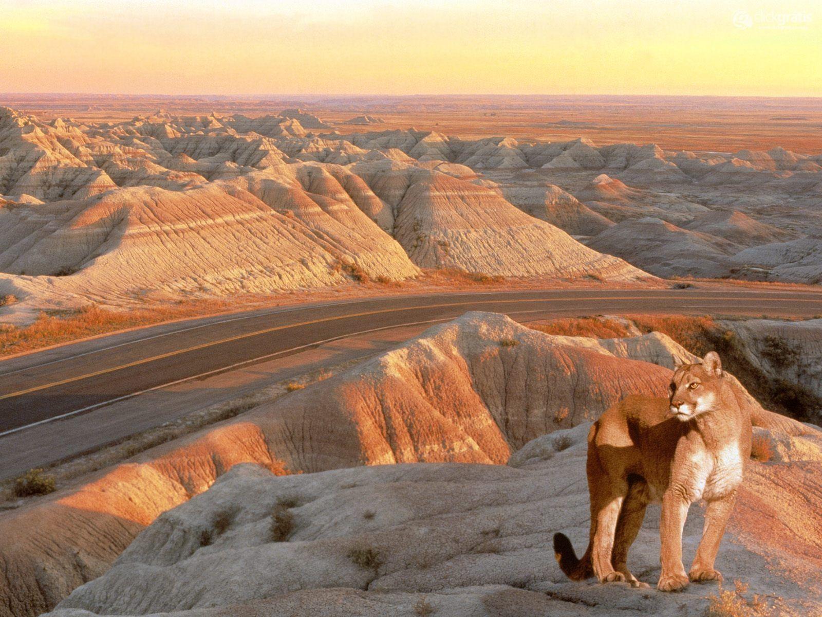 Puma in South Dakota