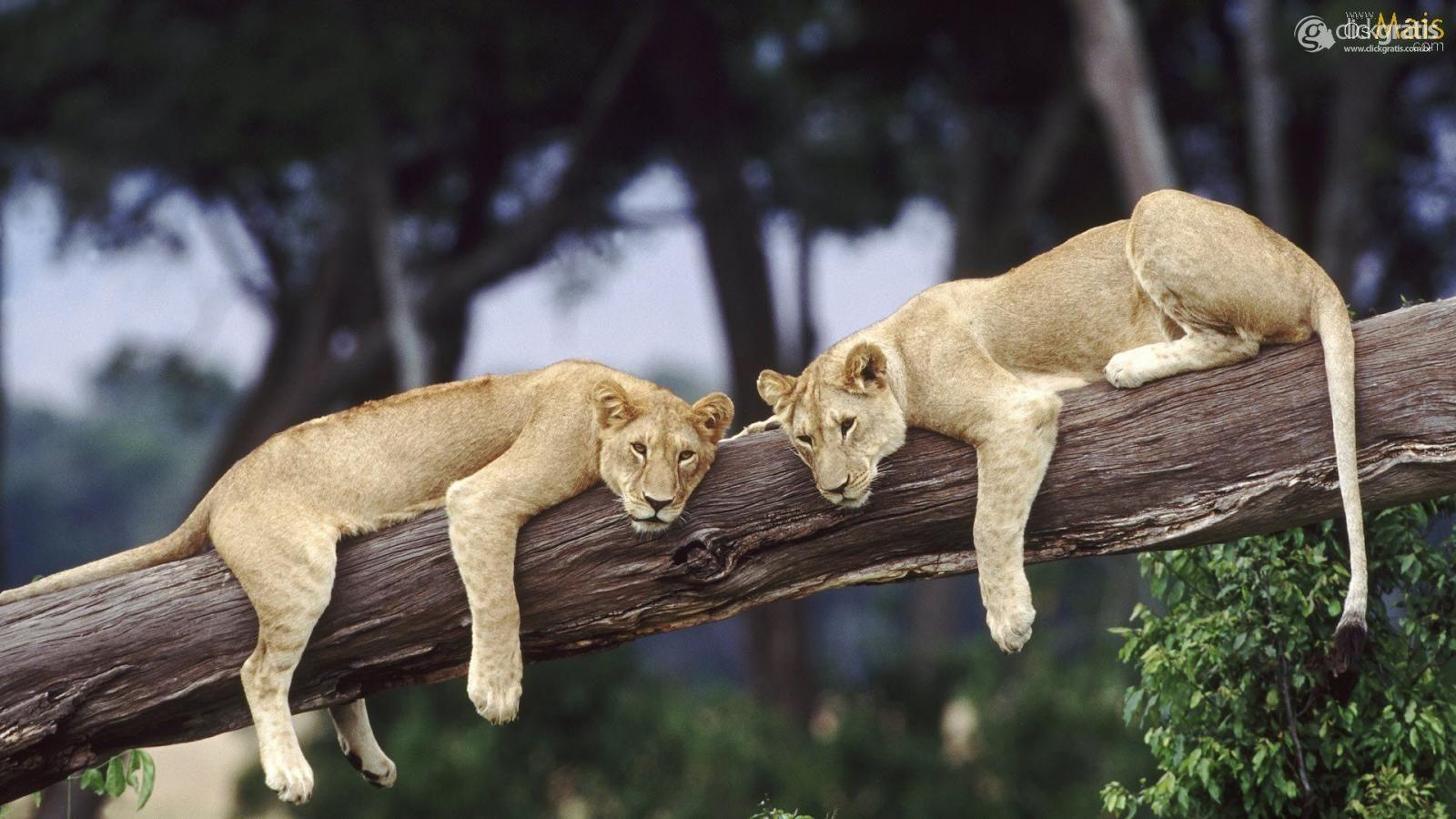 Leões na Árvore