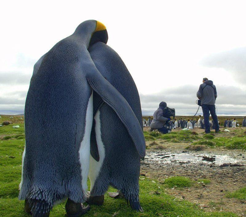 Pinguim amoroso