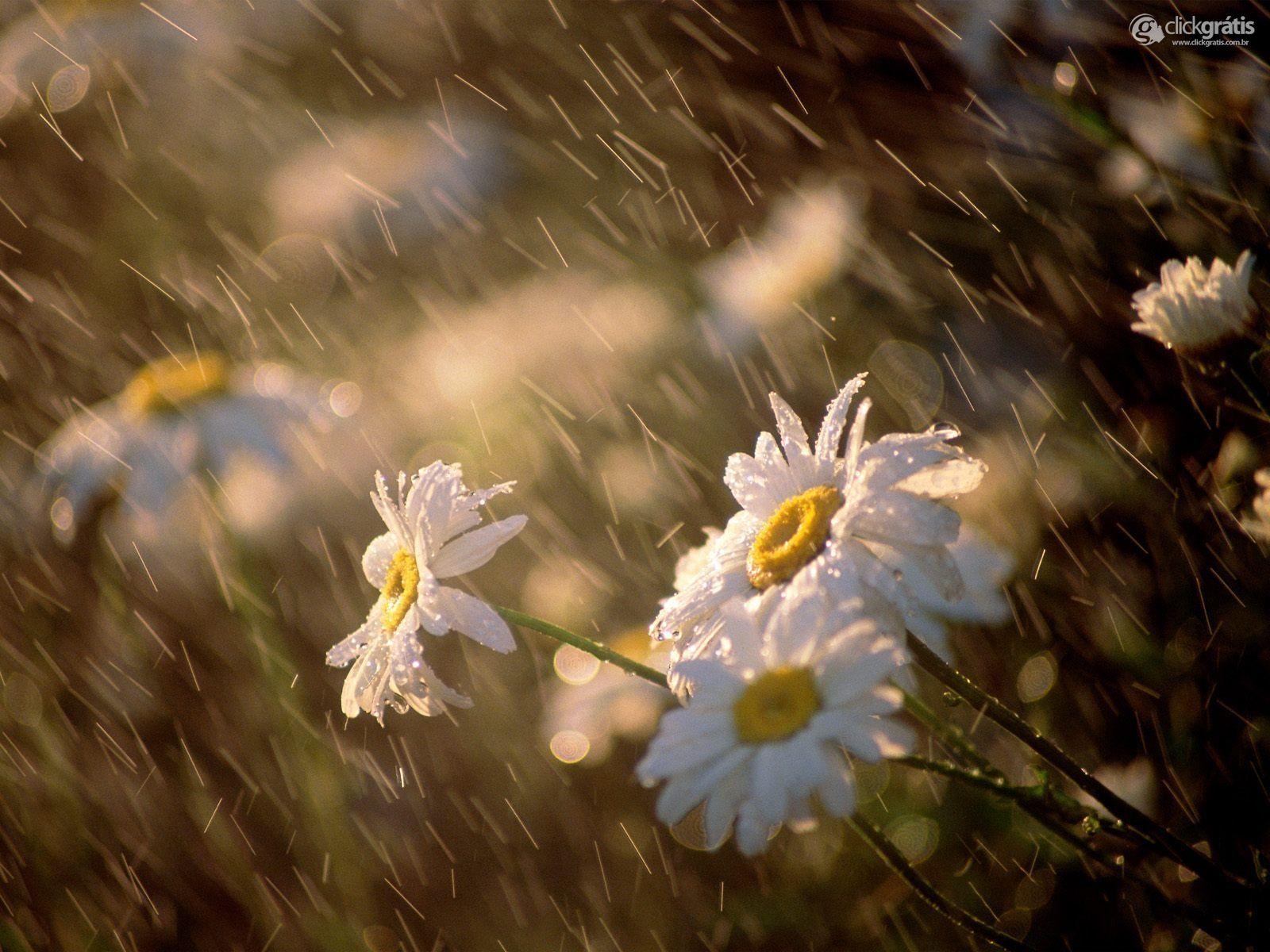 Chuva nas flores