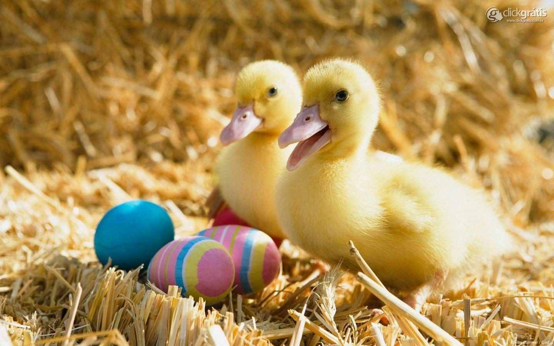 Patinhos e Ovos Coloridos