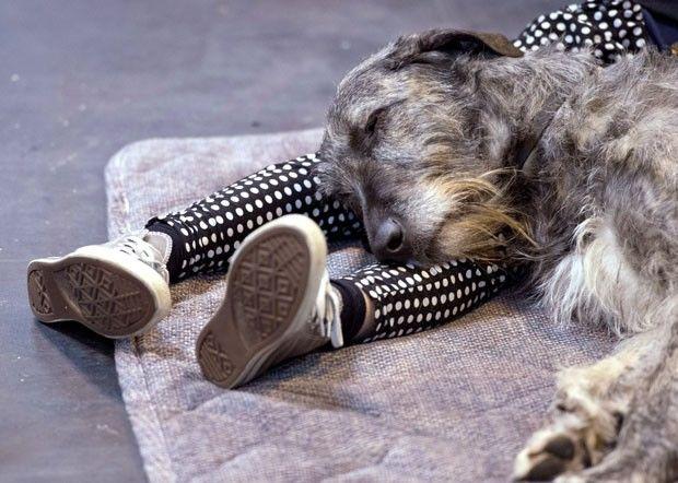 Cão dorminhoco