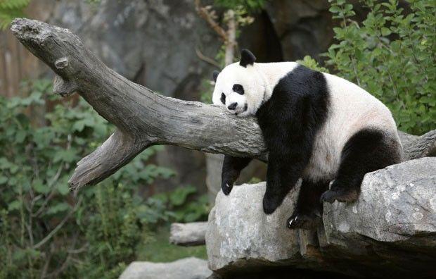 Panda descansando tranquilamente