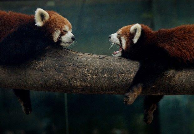 Panda-vermelho bocejando
