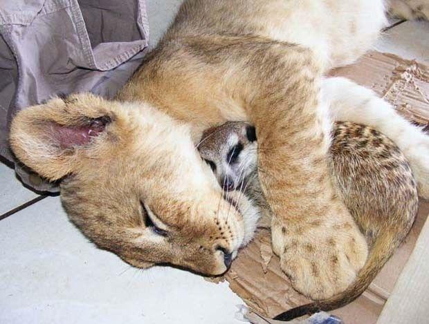 Amizade entre leoa e um suricato