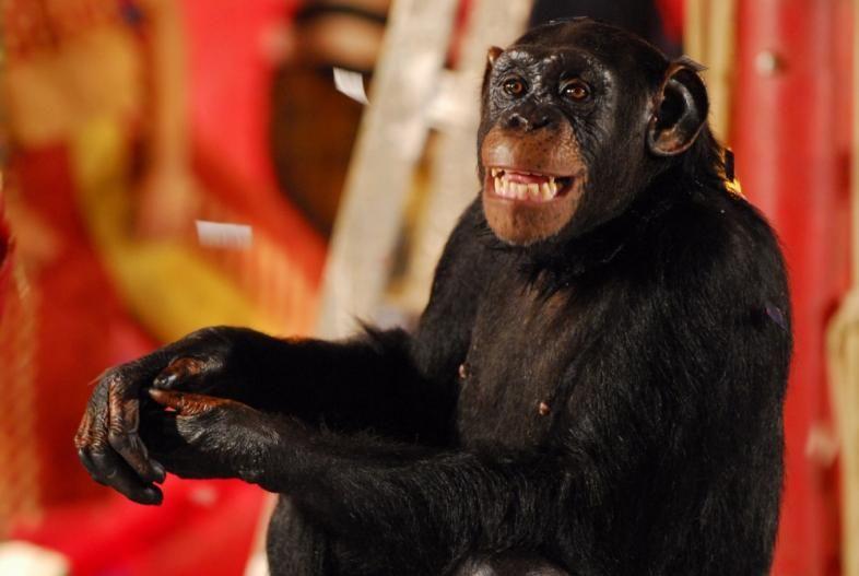 Macaco Xico de Caras & Bocas
