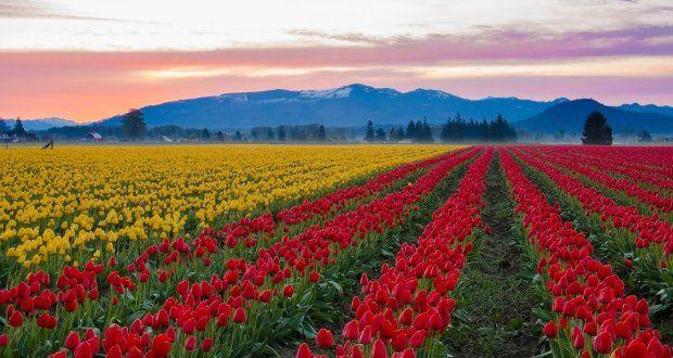 Campo de Tulipas Vale de Skagit, Washington